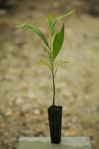 Acacia mangium sapling
