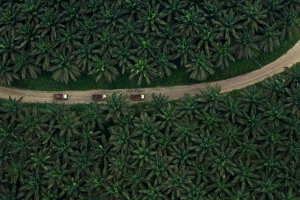 Asian Agri Oil Palm Plantation