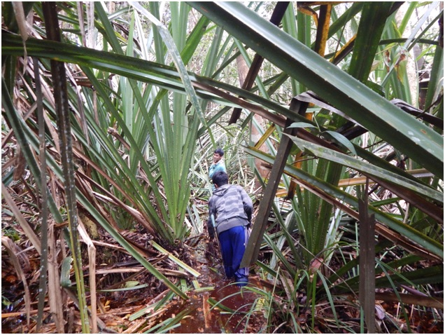 Making transects and trails through the peat swamp forest is slow work.